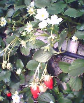 苺2006